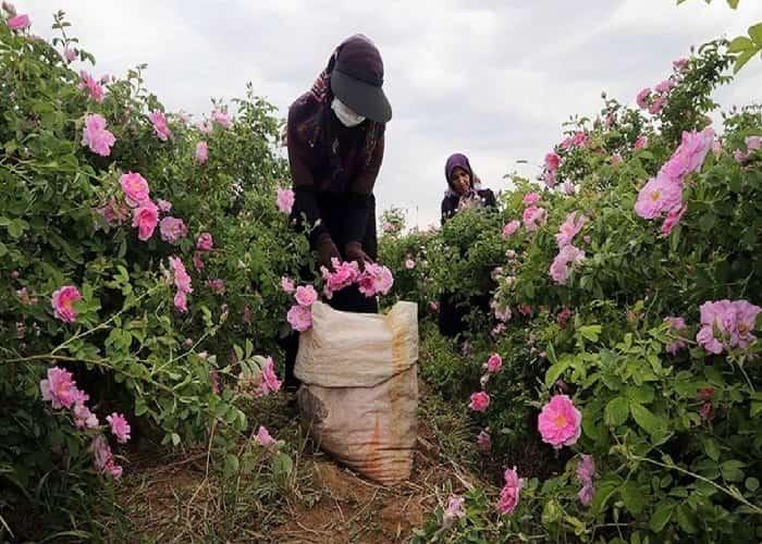 قطف الورود لاستخلاص ماء الورد في كاشان ايران
