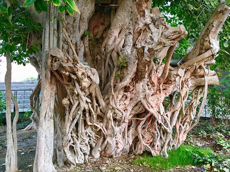 شجرة الأمنيات في جزيرة كيش في ايران