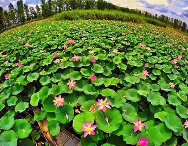 water lily in mazandaran iran