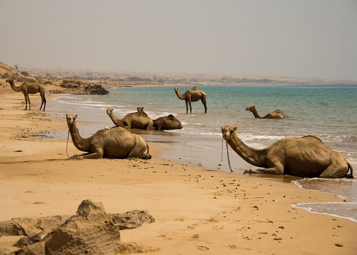camels in qeshm island, travel to Iran